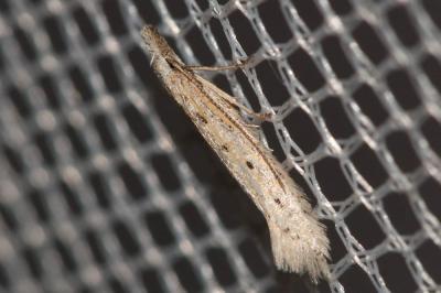 Pyncostola bohemiella (Nickerl, 1864)