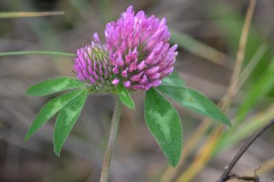 Trèfle des prés, Trèfle violet Trifolium pratense L., 1753