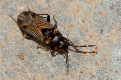 Ischnocoris angustulus (Boheman, 1852)