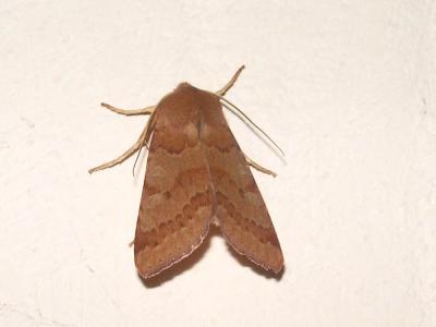 Xanthie rufine (La) Agrochola helvola (Linnaeus, 1758)
