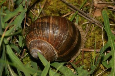 Escargot de Bourgogne Helix pomatia Linnaeus, 1758