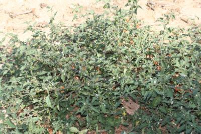 Morelle poilue Solanum villosum Mill., 1768