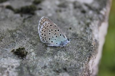 Azuré du Serpolet (L'), Azuré d'Arion (L'), Argus  Phengaris arion (Linnaeus, 1758)