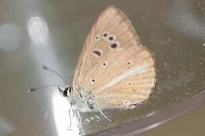 Sablé de la Luzerne (Le), Argus bleu clair (L') Polyommatus dolus (Hübner, 1823)