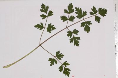 Peucédan d'Alsace Xanthoselinum alsaticum subsp. alsaticum (L.) Schur, 1866