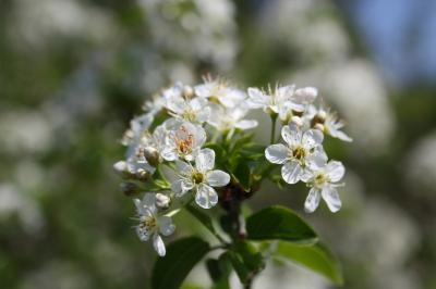 Bois de Sainte-Lucie, Prunier de Sainte-Lucie, Ama Prunus mahaleb L., 1753