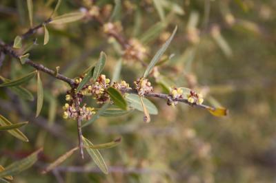 Alavert à feuilles étroites Phillyrea angustifolia L., 1753