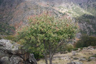 Alouchier, Alisier blanc Sorbus aria (L.) Crantz, 1763