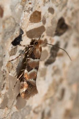 Phyllonorycter trifasciella (Haworth, 1828)