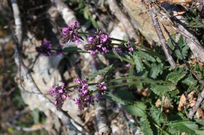 Épiaire officinale Betonica officinalis L., 1753