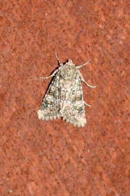 Dianthécie bleuâtre (La) Hadena filograna (Esper, 1788)