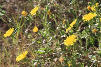 Picride fausse Vipérine Helminthotheca echioides (L.) Holub, 1973
