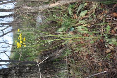 Crépide à feuilles de pissenlit, Barkhausie à feui Crepis vesicaria subsp. taraxacifolia (Thuill.) Thell. ex Schinz & R.Keller, 1914