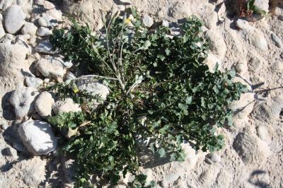 Crépide à feuilles de capselle Crepis bursifolia L., 1753