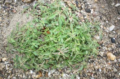Euphorbia dentata Michx., 1803