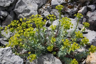 Euphorbe de Nice Euphorbia nicaeensis All., 1785