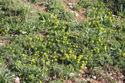 Euphorbe verruqueuse Euphorbia flavicoma subsp. verrucosa (Fiori) Pignatti, 1973