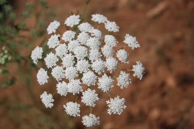 Falcaire de Rivin Falcaria vulgaris Bernh., 1800