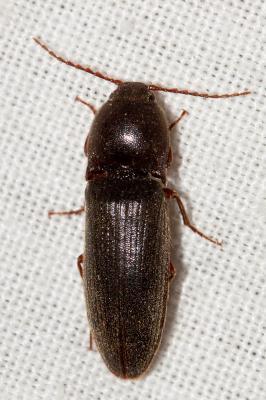 Melanotus crassicollis (Erichson, 1841)