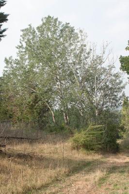 Peuplier blanc Populus alba L., 1753