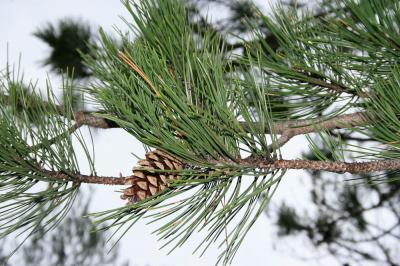 Pin noir d'Autriche Pinus nigra J.F.Arnold, 1785