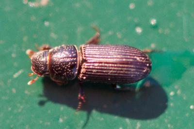 Pleurophorus Mulsant, 1842