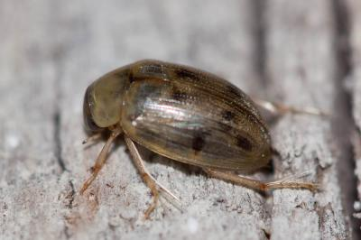 Berosus spinosus (Steven, 1808)