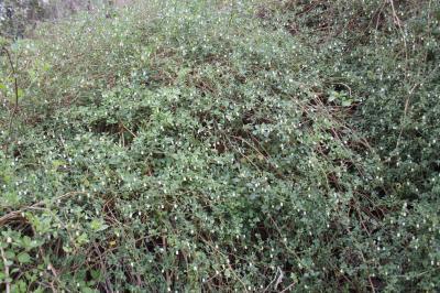 Muguet des pampas Salpichroa origanifolia (Lam.) Baill., 1888