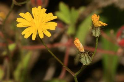 Crépis à petites fleurs Crepis micrantha Czerep., 1964