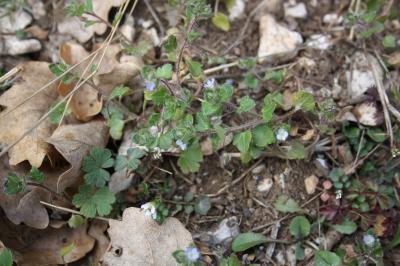 Véronique à feuilles de lierre Veronica hederifolia L., 1753