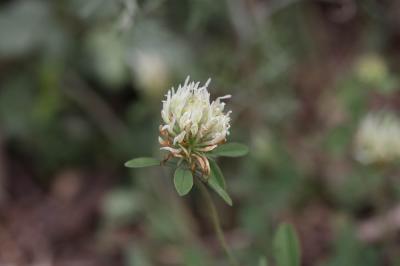 Trèfle jaunâtre, Trèfle jaune pâle Trifolium ochroleucon Huds., 1762