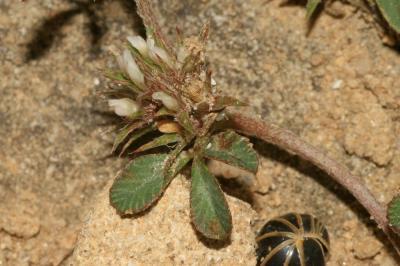 Trèfle rude, Trèfle scabre Trifolium scabrum L., 1753