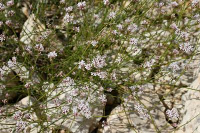 Herbe à l'esquinancie, Aspérule des sables Asperula cynanchica L., 1753