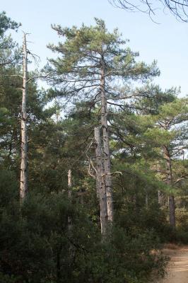 Largge Pinus nigra subsp. laricio Maire, 1928