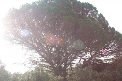 Pin parasol, Pin pignon, Pin d'Italie Pinus pinea L., 1753