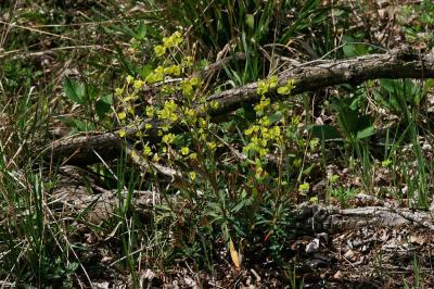Euphorbe des bois, Herbe à la faux Euphorbia amygdaloides L., 1753