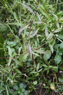 Éclipte blanche Eclipta prostrata (L.) L., 1771