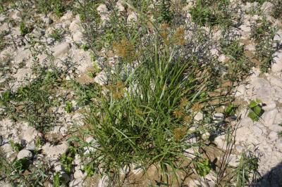 Souchet comestible, Souchet sucré Cyperus esculentus L., 1753
