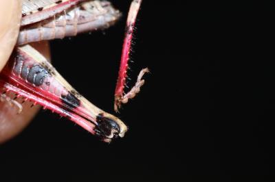 OEdipode automnale, Criquet farouche  Aiolopus strepens (Latreille, 1804)