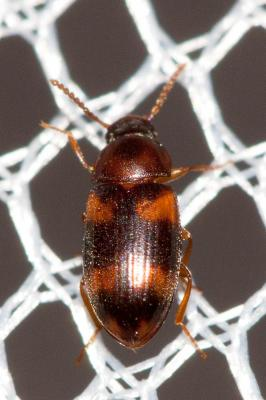 Alphitophagus bifasciatus (Say, 1824)