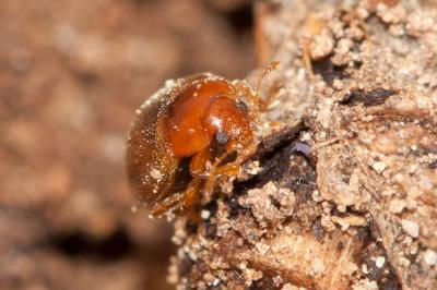 Mycétophage des céréales (le) Typhaea stercorea (Linnaeus, 1758)