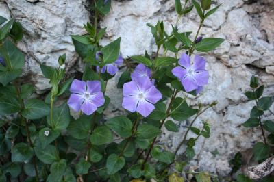 Grande pervenche Vinca major L., 1753