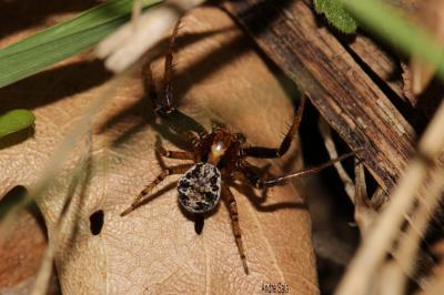 Araignées-crabes, Araignées-crabes des fleurs et d Thomisidae