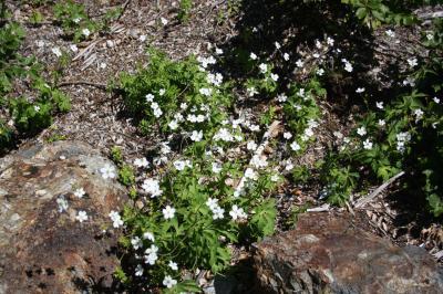 Renoncule à feuilles de platane Ranunculus platanifolius L., 1767