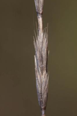 Chiendent commun, Chiendent rampant Elytrigia repens (L.) Desv. ex Nevski, 1934