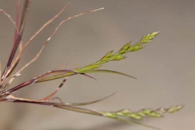 Catapode des graviers Micropyrum tenellum (L.) Link, 1844
