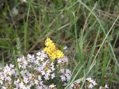 Panthère (La) Pseudopanthera macularia (Linnaeus, 1758)
