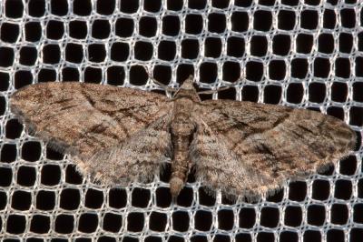 Eupithécie de l'Oxycèdre (L') Eupithecia oxycedrata (Rambur, 1833)