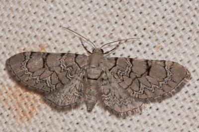 Eupithécie de Schieferer (L') Eupithecia schiefereri Bohatsch, 1893