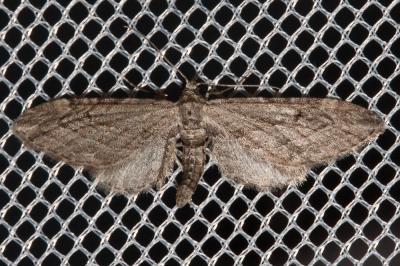 Eupithécie de l'Arbousier (L') Eupithecia unedonata Mabille, 1868